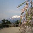 桜と津軽富士