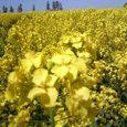 黄色い絨毯3