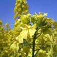 黄色い絨毯2