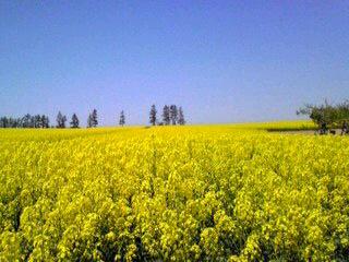 黄色い絨毯1
