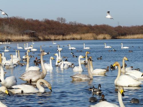 ウトナイ湖の春1
