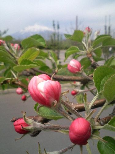 リンゴ公園にて