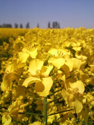 黄色い絨毯4