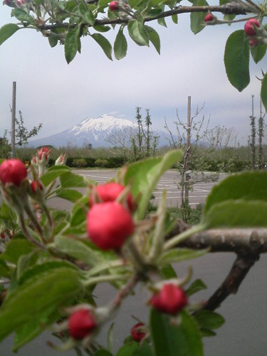 リンゴのつぼみと岩木山